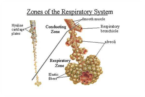 zones of the respiratory system